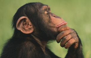 ThinkingChimp