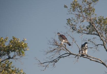 AfricanEagleHawks