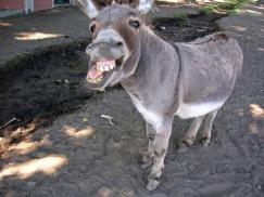Braying Donkey