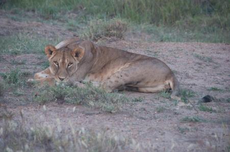 Lioness1