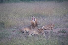 LionPride1
