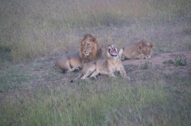 LionPride2