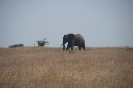 LoneElephant