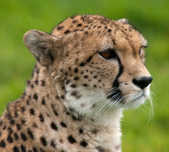 Cheetah at Whipsnade Zoo