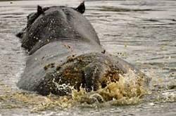 hippo-dungspray_bots-4459