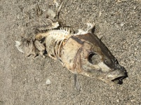 Rotting Fish, A fish rots from the head down, corruption, political corruption, Trump, Republicans,