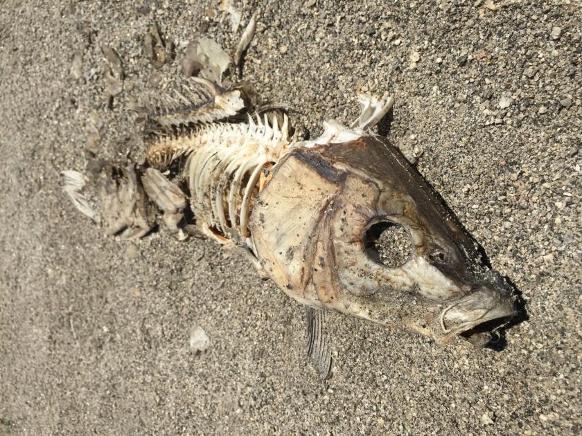 Rotting Fish, A fish rots from the head down, corruption, political corruption, Trump, Republicans,