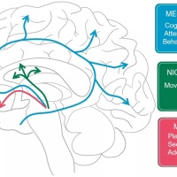 The Dopamine of Politics: The Reward and Liking Systems