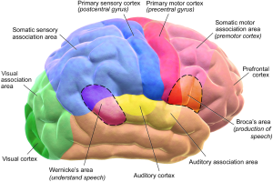 What areas of the brain control mov